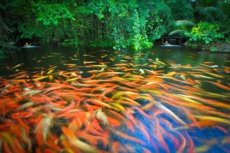Colorful Koi or carp Stock Photo