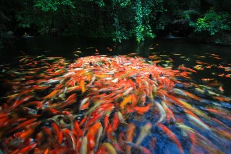 Colorful Koi or carp Stock Photo - 15186317