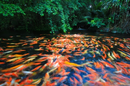 Colorful Koi or carp photo