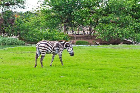 zebra Stock Photo - 15186623
