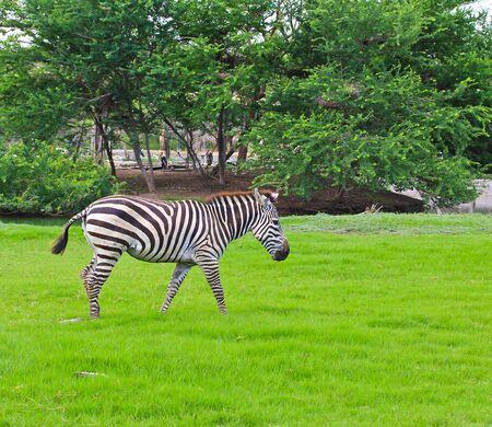 zebra Stock Photo - 15186475