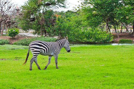zebra Stock Photo - 15186510