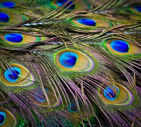 Крупным планом портрет красивый павлин с перьями