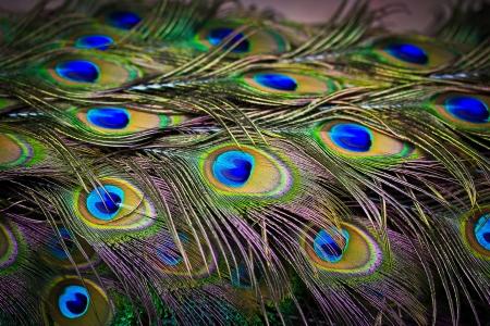 Крупным планом портрет красивой павлина с перьями из