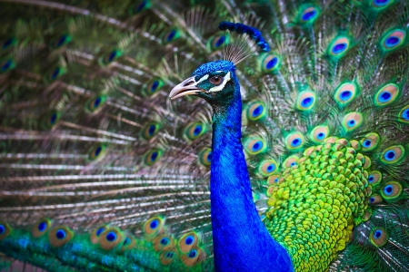 Close-up portrait of beautiful peacock with feathers out  Stock Photo