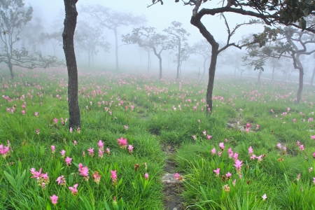 field of thai: flower Wild siam tulips blooming in the jungle in Chaiya phoom,thailand