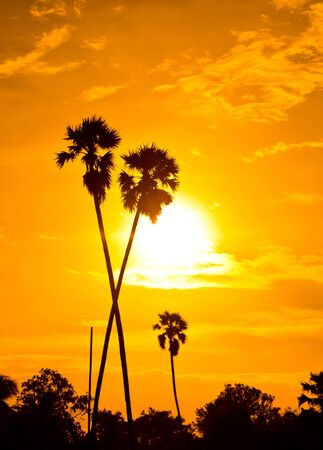 Sugar palm sunset in countryside thailand  photo