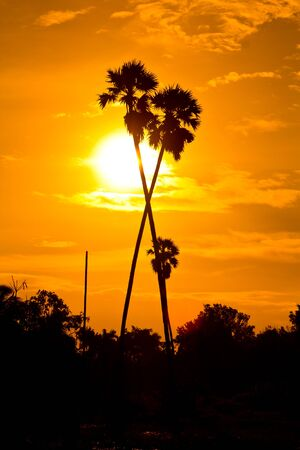 sugar palm: Sugar palm sunset in countryside thailand