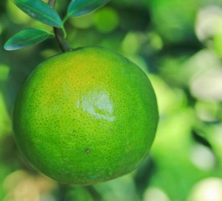 citrus tree: oranges Garden