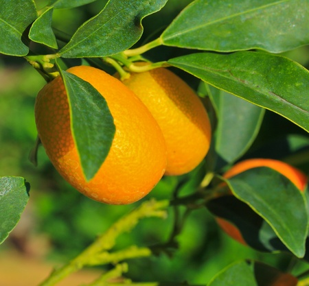 oranges Garden  photo