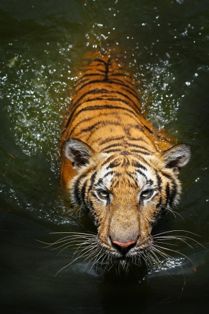 Tiger swim photo