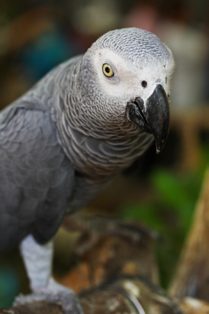 African grey parrot  photo