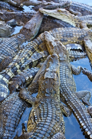 crocodile Stock Photo - 15188777