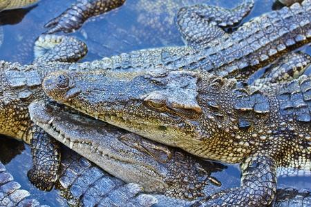 crocodile Stock Photo - 15188774