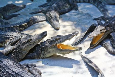 crocodile Stock Photo - 15188681