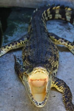crocodile Stock Photo - 15188554