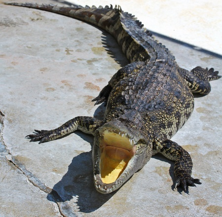crocodile Stock Photo - 15188489