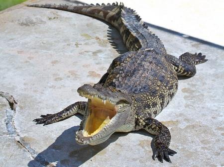 crocodile Stock Photo - 15188476