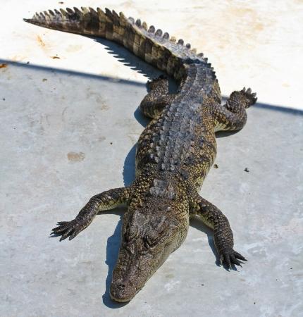crocodile  Stock Photo - 15188495