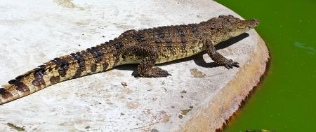crocodile Stock Photo - 15188603