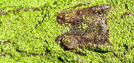 crocodile  Stock Photo - 15188792