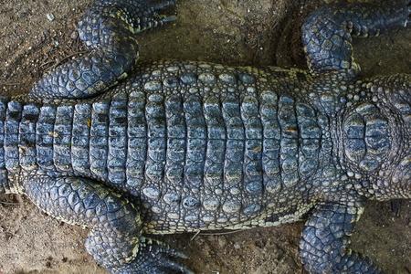 crocodile Stock Photo - 15188789