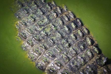 crocodile  Skin Stock Photo - 15188721