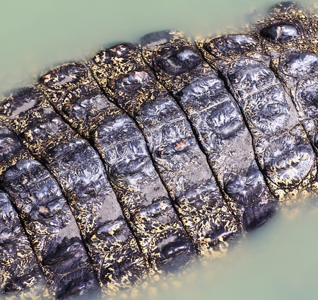 crocodile  Skin  Stock Photo - 15188689