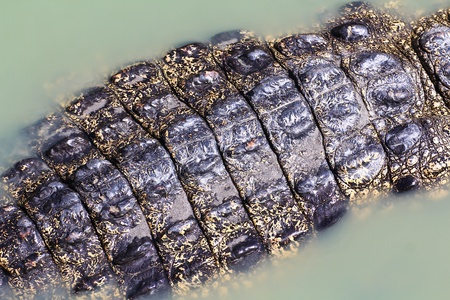 crocodile  Skin  Stock Photo - 15188790