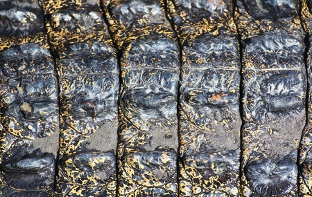 crocodile  Skin  Stock Photo - 15188709