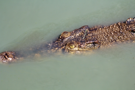 crocodile   Stock Photo - 15188560