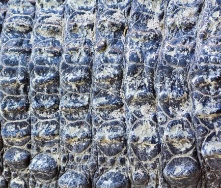 crocodile  Skin Stock Photo - 15188695