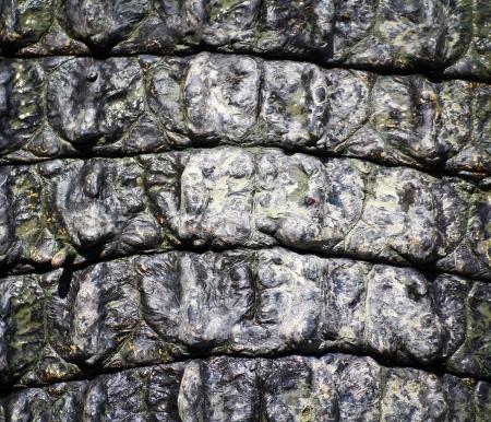 crocodile  Skin Stock Photo - 15188686