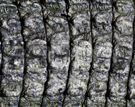 crocodile  Skin  Stock Photo - 15188791