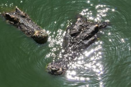 crocodile Stock Photo - 15188663