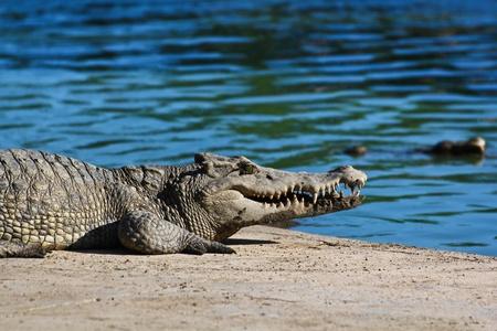 crocodile  Stock Photo - 15188654