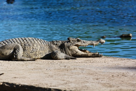 crocodile Stock Photo - 15188633
