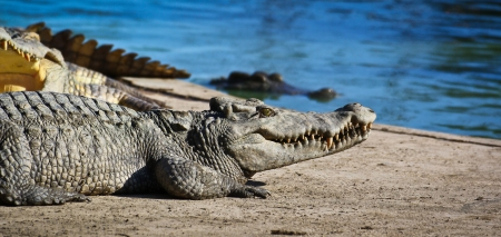 crocodile Stock Photo - 15188533