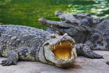 crocodile Stock Photo - 15188659