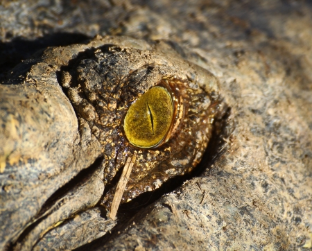 crocodile eye Stock Photo - 15188483