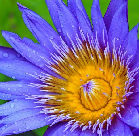 Beautiful lotus Purple photo