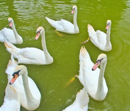 Swam  Stock Photo - 14885047