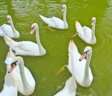 Swam Stock Photo - 14884818