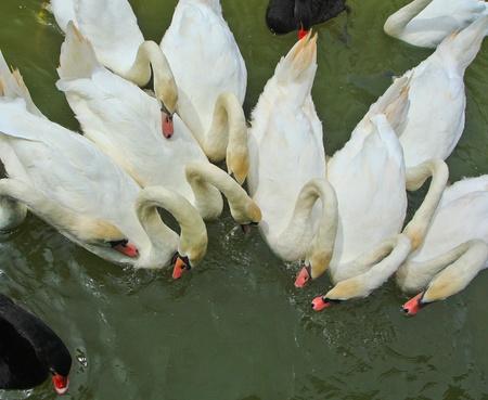 Swam Stock Photo - 14884923