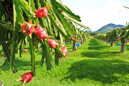 dragon fruit in garden  photo