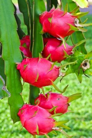 dragon fruit in garden  photo