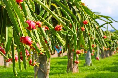 dragon fruit in garden  Stock Photo