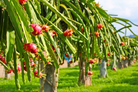 dragon fruit in garden  Stock Photo