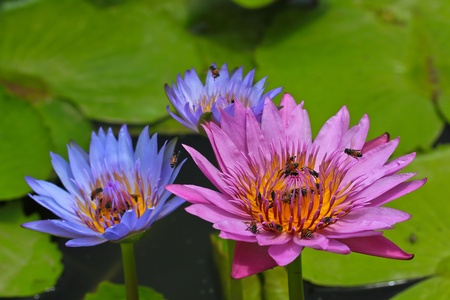 Beautiful lotus Purple Multicolored photo