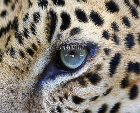 Leopard eyes  photo